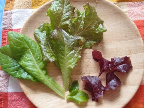 リーフサラダレタス3 家庭菜園 育て方