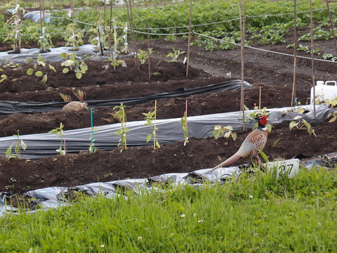 市民農園 函館 キジ 家庭菜園