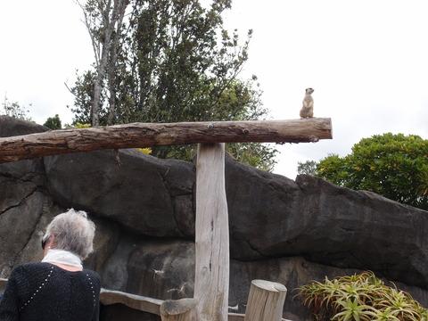 オークランド 動物園 ミーアキャット