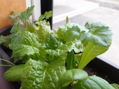 リーフサラダレタス6 家庭菜園 育て方