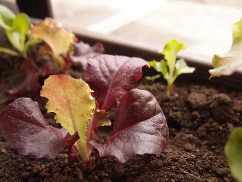 リーフサラダレタス4 家庭菜園 育て方