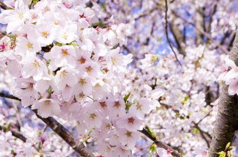 春はすぐそこ。さぁ、お花見に行こう!『関東・甲信越地方』のお花見スポット