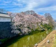 霞城公園桜2021・4・6堀端東北