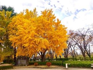霞城公園イチョウ⓶20201118