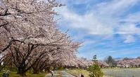 霞城公園桜2021・4・6球場跡北