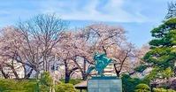 霞城公園桜2021・4・6最上義光像