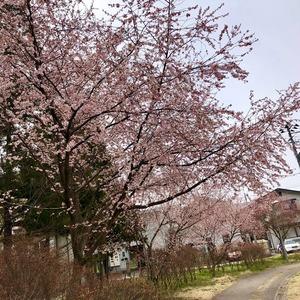 桜 美術館前公園2019・4・8
