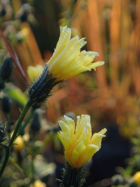@黄色い花に霜