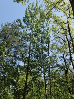 ヤマナラシの木