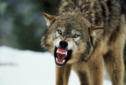 オオカミの牙