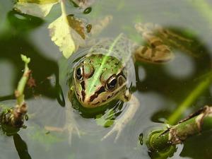 教室でカエルを飼う