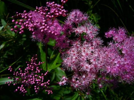 線香花火の花