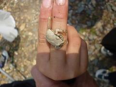 ハチベエのつかまえた白いカエル