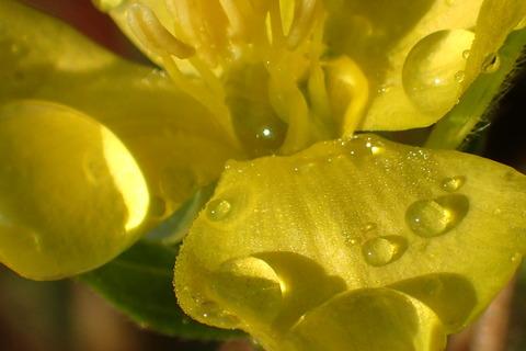 花と水滴黄色