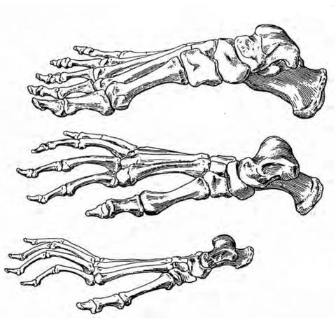 理科・ひとの体 足の骨をくらべよう