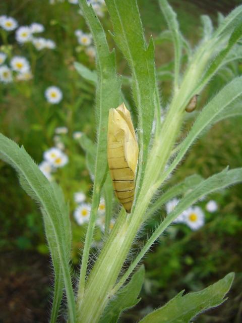 蝶の標本づくり