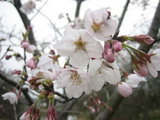 ブルーメの桜