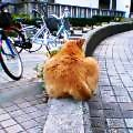 ちゃがま猫