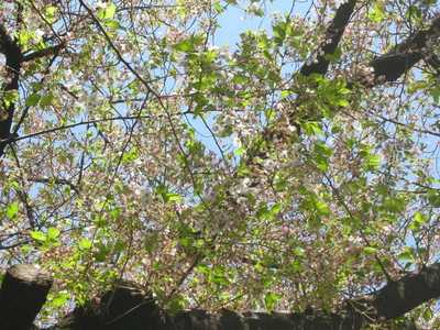 葉桜090410 004