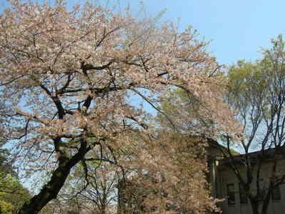 葉桜090410 001