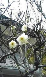 鎌倉の梅110111-2