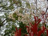 060403桜と赤目垣