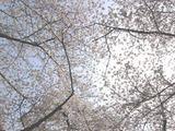 060403桜天井