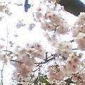 060326寒桜2