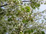 060407葉桜UP