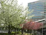 060407葉桜1