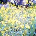 060421菜の花