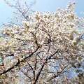 060331桜満開2