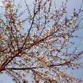 060330桜八分咲き3