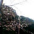 060326桜一分咲き