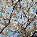 060331桜満開1