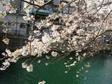 桜と大岡川
