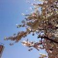 今日日比谷に行ったら、桜満開でした