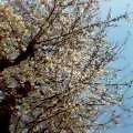 060329桜八分1