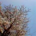 桜八分咲き2