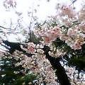 060326寒桜1