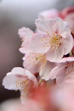 寒桜 (3)