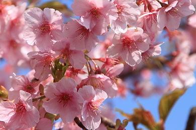 寒緋桜 (1)