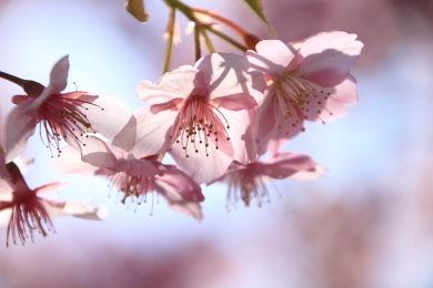 寒緋桜 (2)