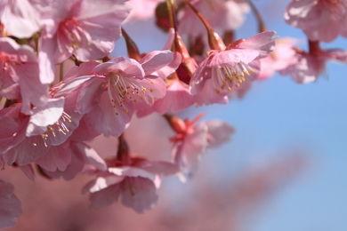 寒緋桜 (8)