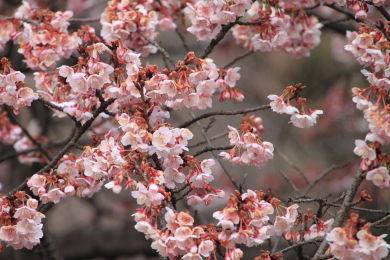 寒桜 (1)