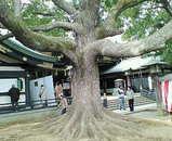 穴八幡宮の大木