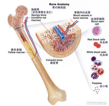 骨と毛細血管
