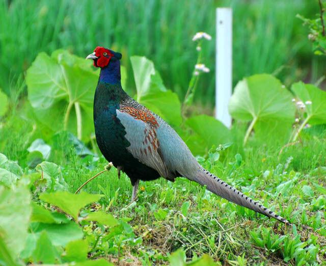 使者】『日本の国鳥』古事記にルーツ : アート天国JAPAN