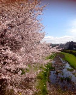 野川の桜14-1