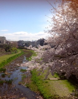 野川の桜14-2
